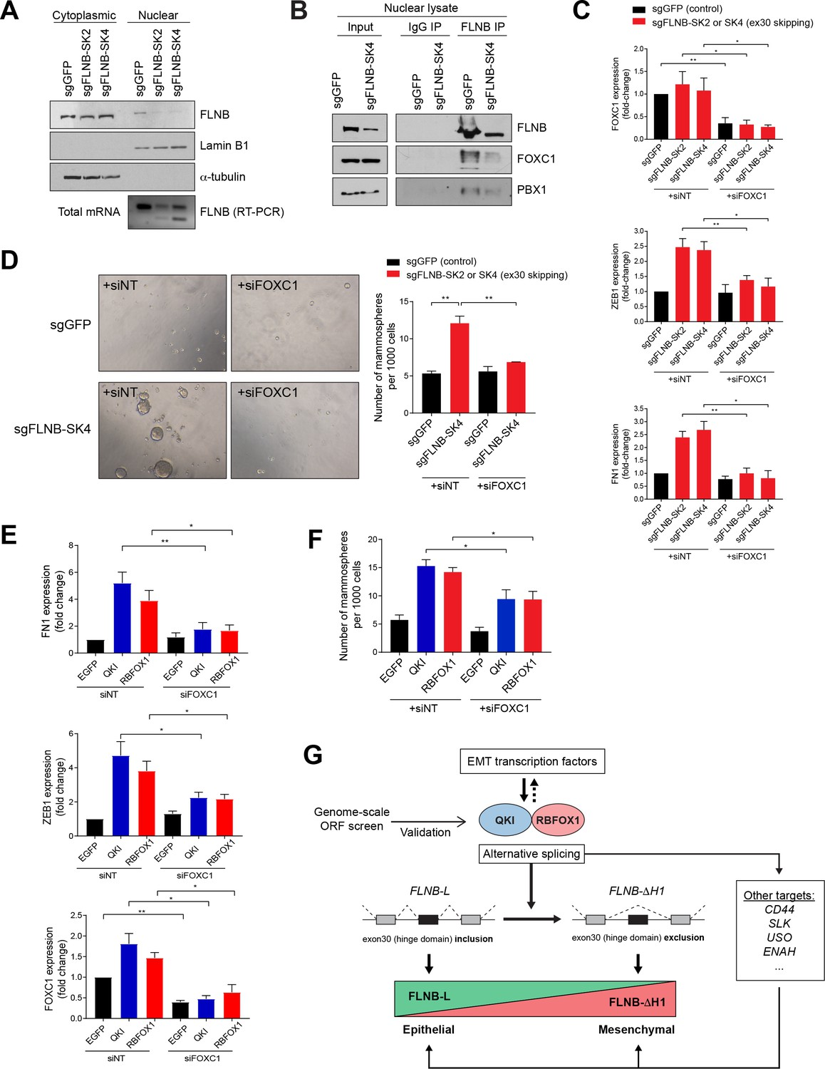 An Alternative Splicing Switch In Flnb Promotes The Mesenchymal Cell Ledcircuitcalculator Circuit Playground 163 Resistor Power Emt Mediated By Isoform Switching Is Dependent On Foxc1 Transcription Factor