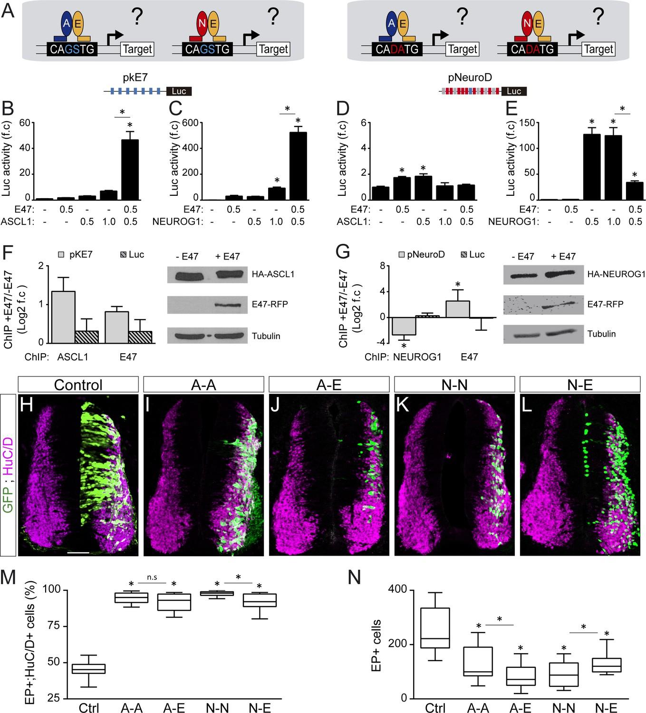 E proteins sharpen neurogenesis by modulating proneural bHLH