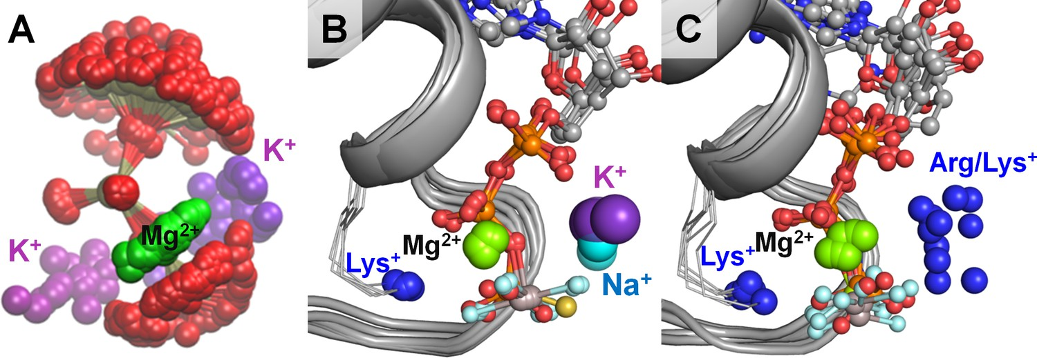 Evolution of cation binding in the active sites of P-loop