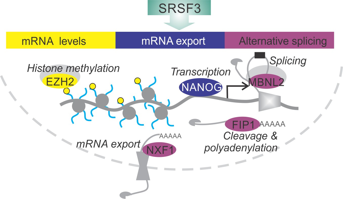 SRSF3 promotes pluripotency through Nanog mRNA export and