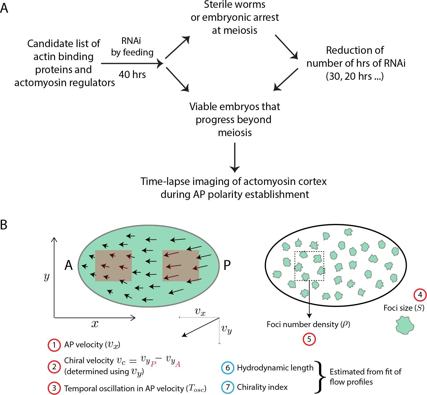 Morphogenetic degeneracies in the actomyosin cortex | eLife