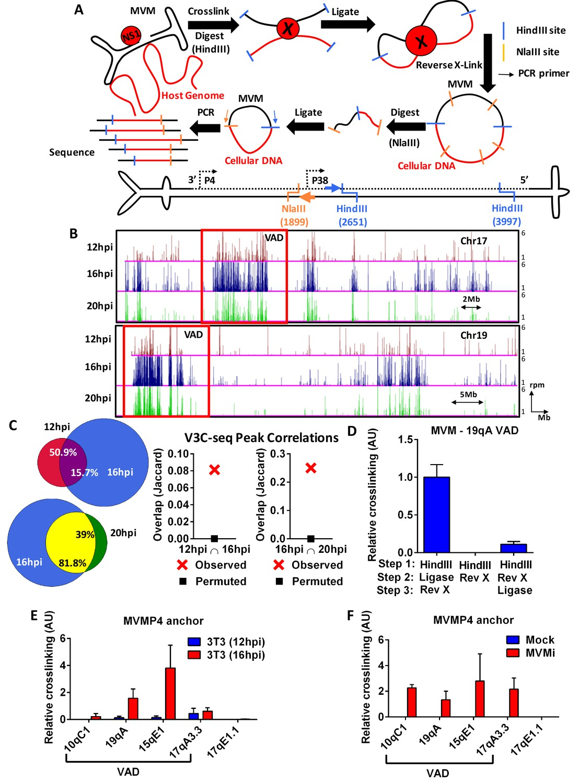 Parvovirus Minute Virus Of Mice Interacts With Sites Cellular Dna Htc One X Block Diagram The Mvm Genome Associates Distinct On