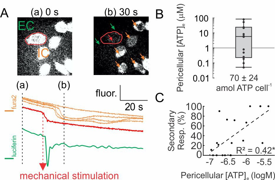 Mechanically stimulated ATP release from murine bone cells