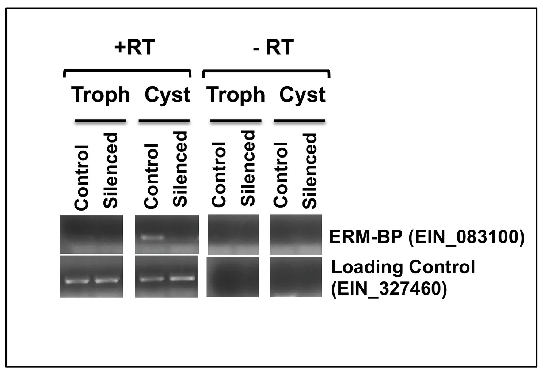 An NAD+-dependent novel transcription factor controls stage