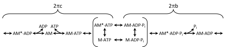 Prolonged cross-bridge binding triggers muscle dysfunction