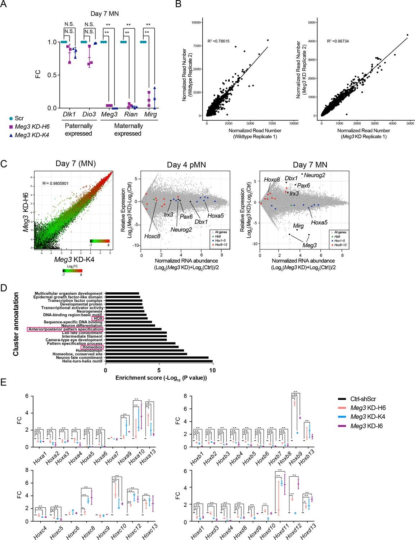 Dlk1-Dio3 locus-derived lncRNAs perpetuate postmitotic motor neuron