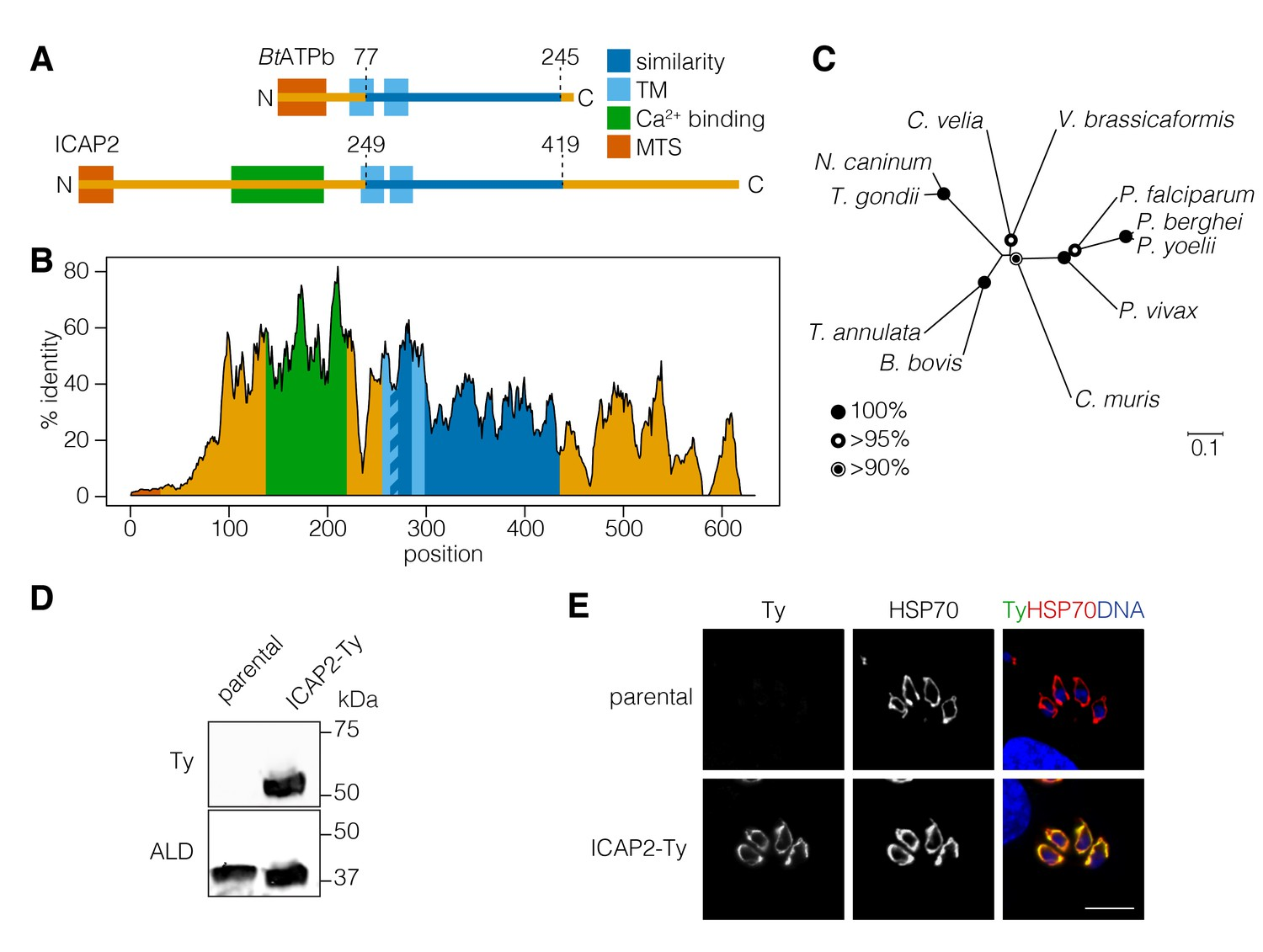 Identification of cryptic subunits from an apicomplexan ATP synthase