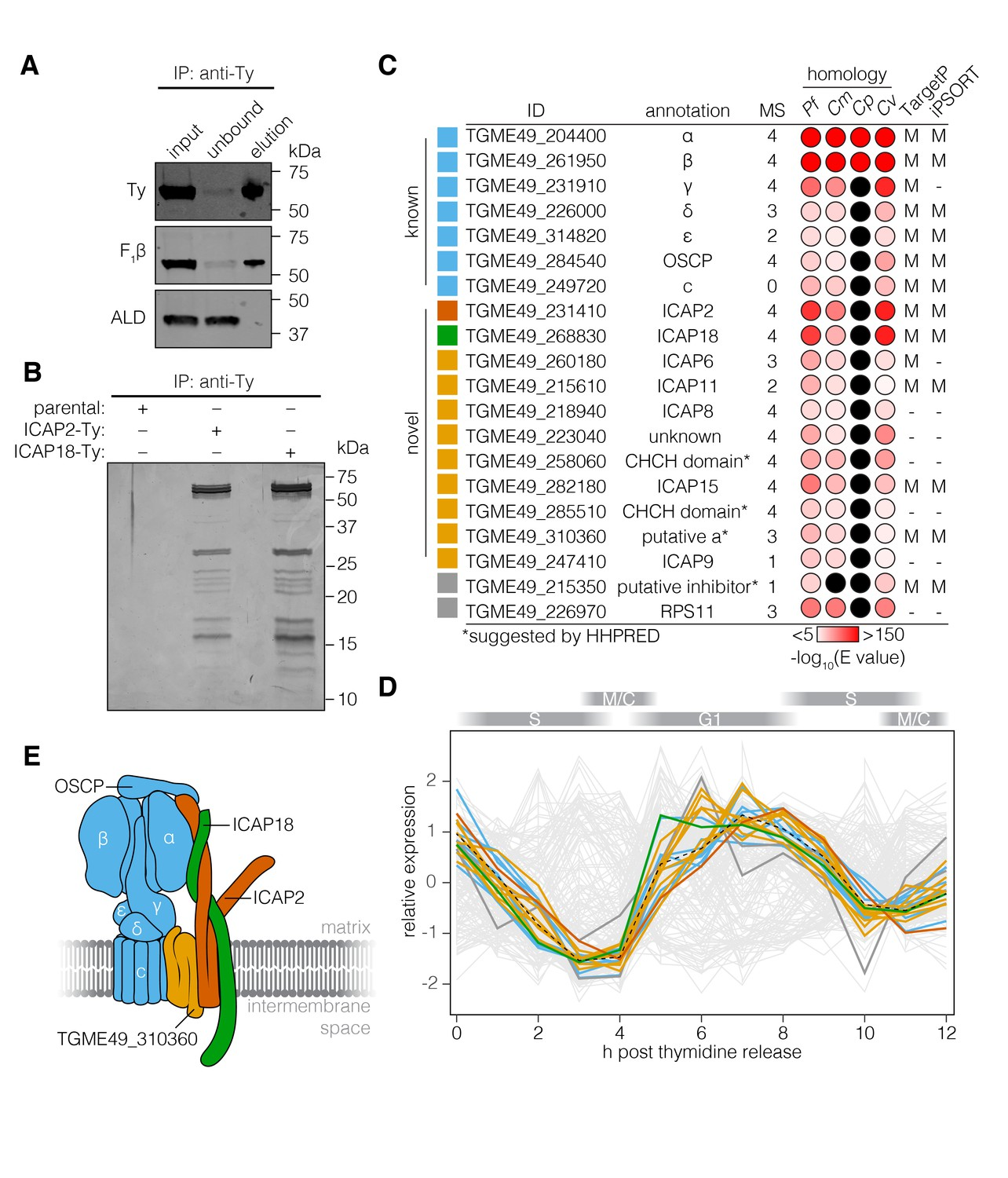 Identification Of Cryptic Subunits From An Apicomplexan Atp Synthase Cat 3 4b Engine Diagram The T Gondii Associates With Proteins Conserved Among Apicomplexans