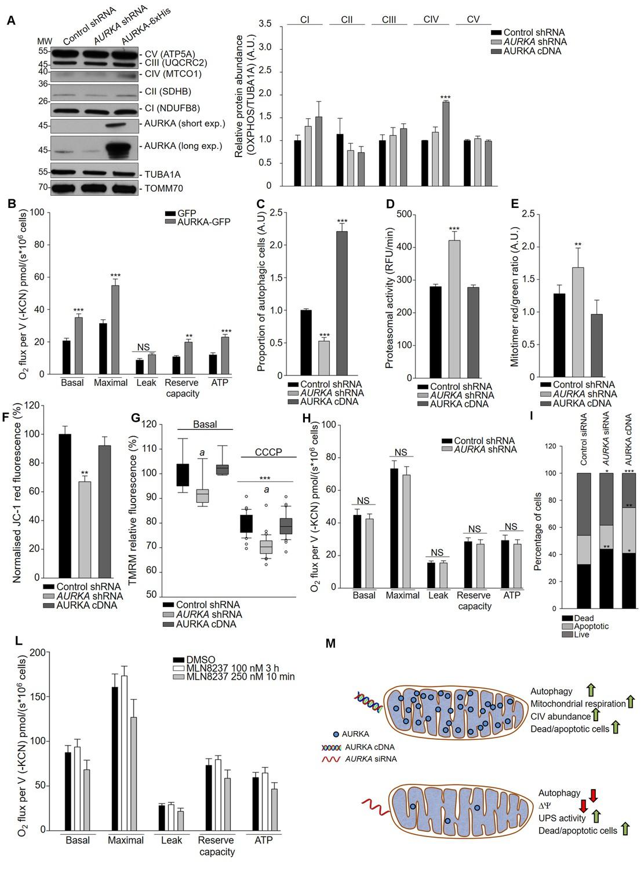 Aurora kinase A localises to mitochondria to control