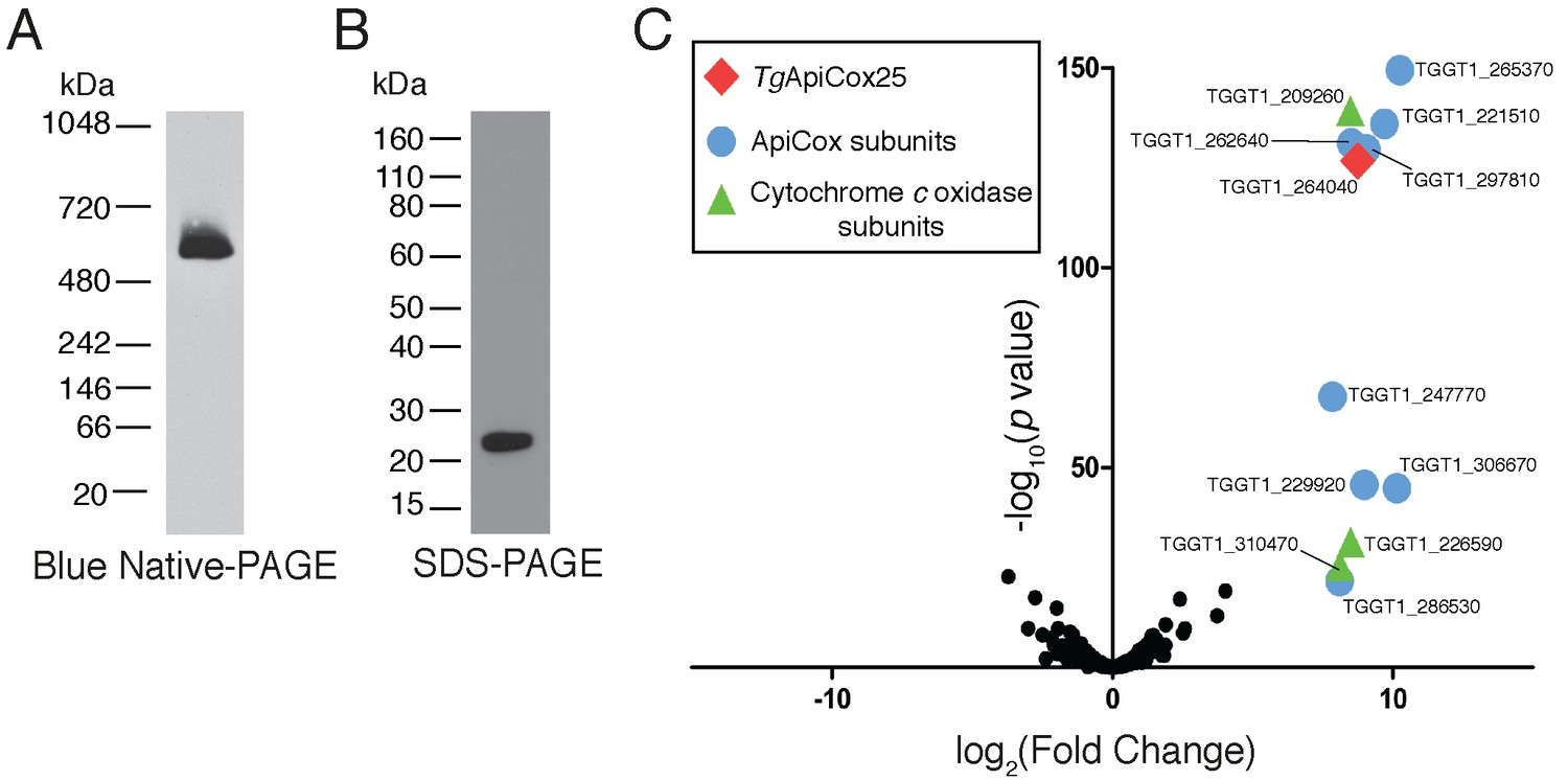 Elucidating The Mitochondrial Proteome Of Toxoplasma Gondii
