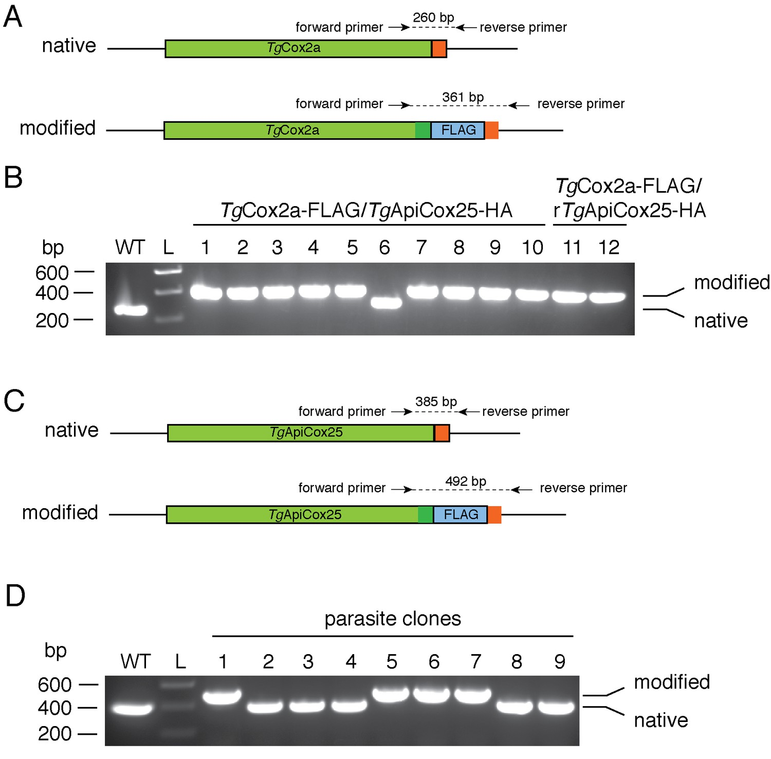 Elucidating The Mitochondrial Proteome Of Toxoplasma Gondii Reveals Cat 3 4b Engine Diagram Generating Flag Tagged Tgcox2a And Tgapicox25 Strains