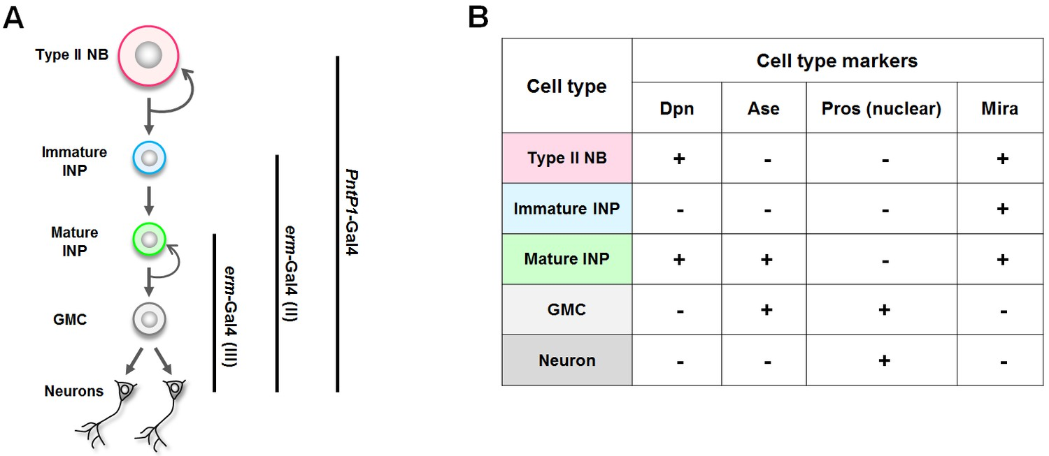 The Retromer Complex Safeguards Against Neural Progenitor Derived