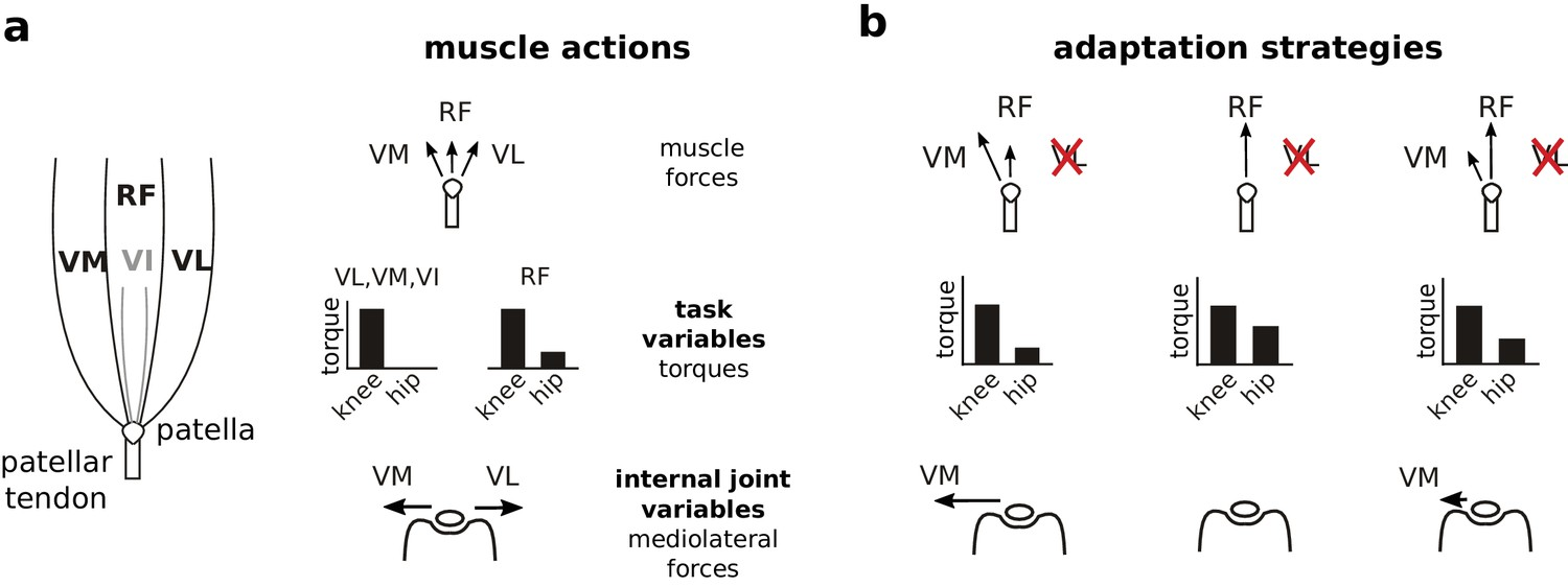Adaptation After Vastus Lateralis Denervation In Rats Demonstrates Cat Skeleton Moreover Knee Muscles And Tendons Diagram Addition Actions Of Quadriceps On Task Performance Variables Internal Joint State Possible Strategies Vl Paralysis