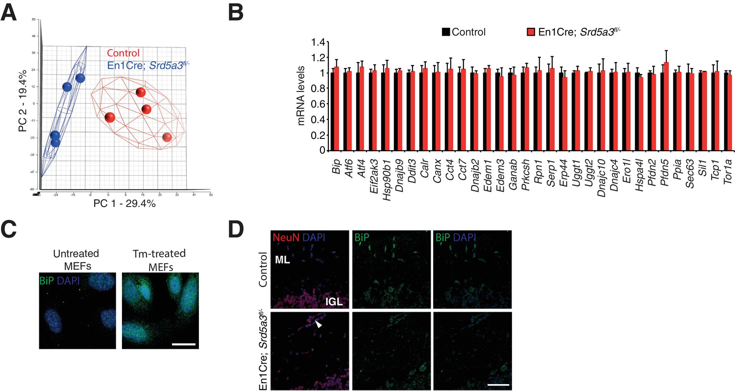 High N Glycan Multiplicity Is Critical For Neuronal Adhesion And Sensitizes The Developing Cerebellum To N Glycosylation Defect Elife