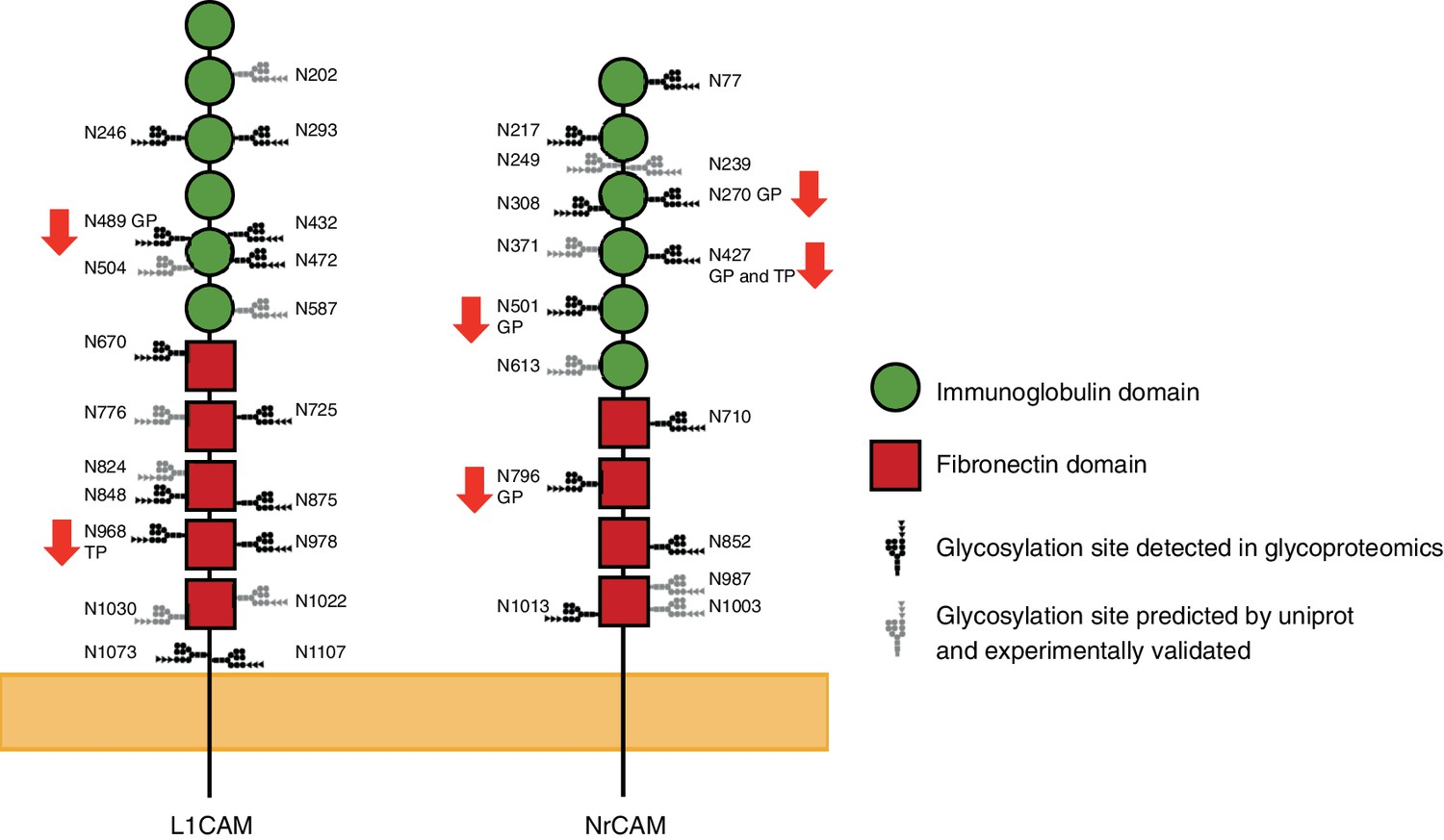 High N Glycan Multiplicity Is Critical For Neuronal Adhesion And Engine Diagram Additionally 2006 07 Honda Odyssey Left Driver Side Schematic Representation Of The Mouse L1cam Nrcam With Their Hypoglycosylated Sites