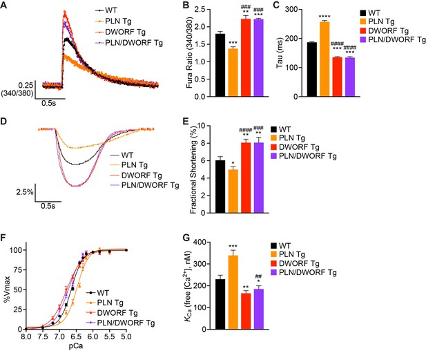 The DWORF micropeptide enhances contractility and prevents