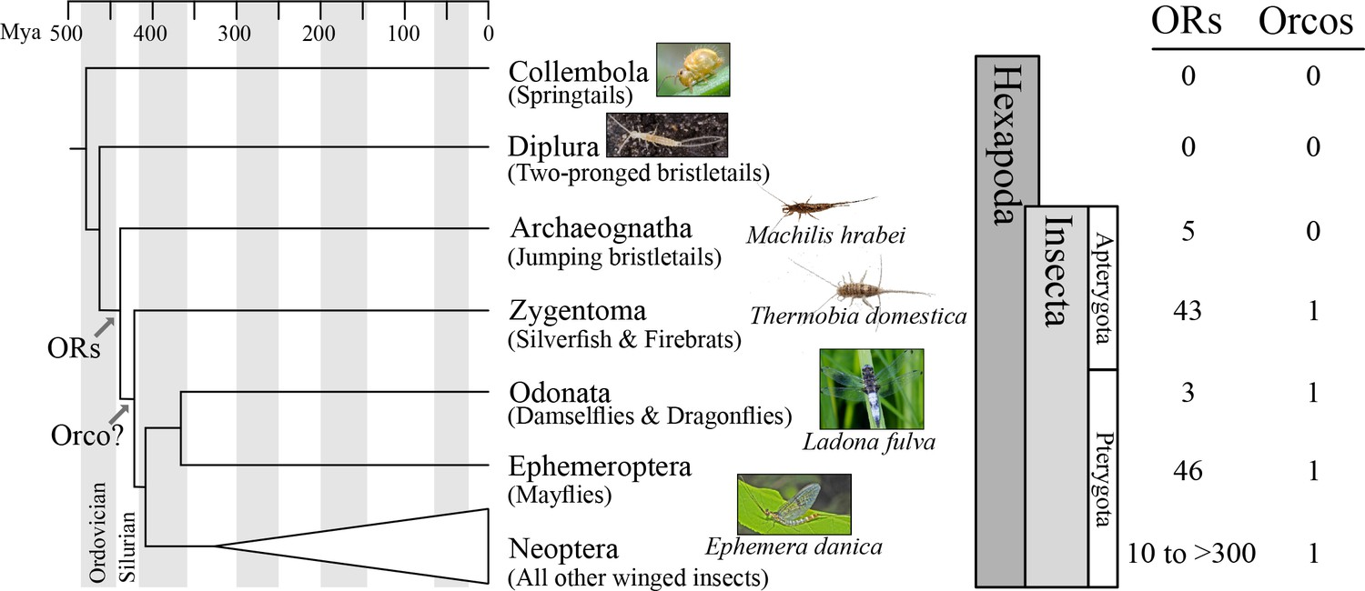 The origin of the odorant receptor gene family in insects