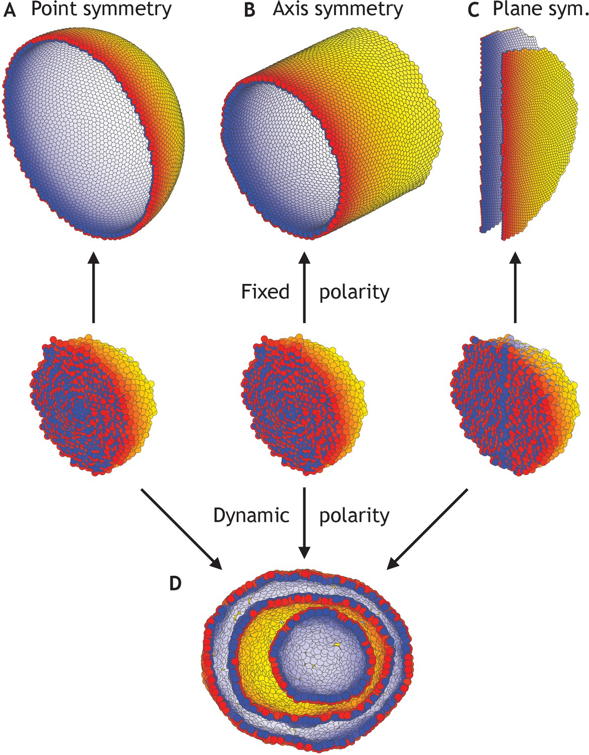 Theoretical tool bridging cell polarities with development
