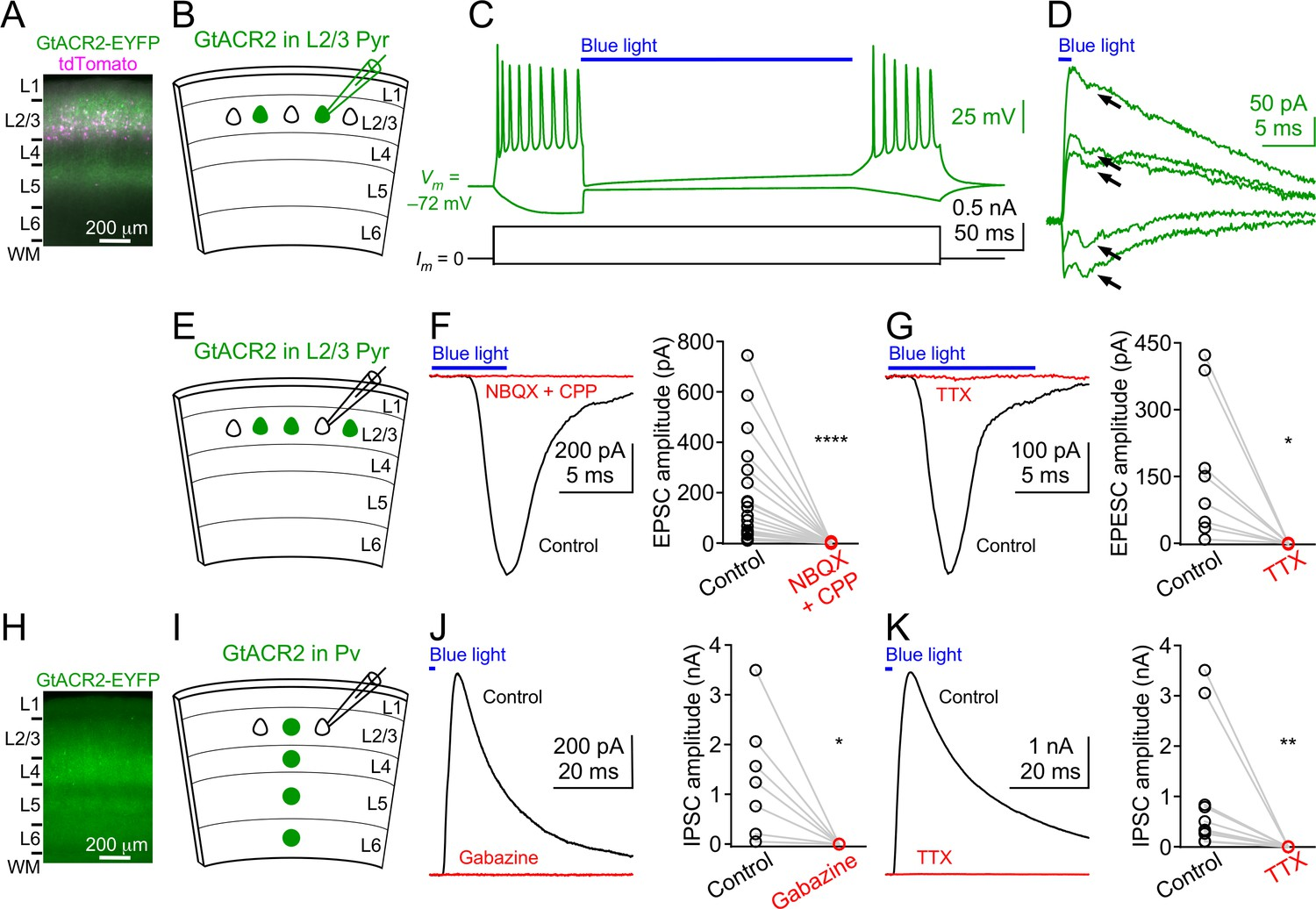 Targeting Light Gated Chloride Channels To Neuronal Somatodendritic Logic Diagram 7493 Activation Of Gtacr2 Causes Excitatory And Inhibitory Neurons Release Neurotransmitters