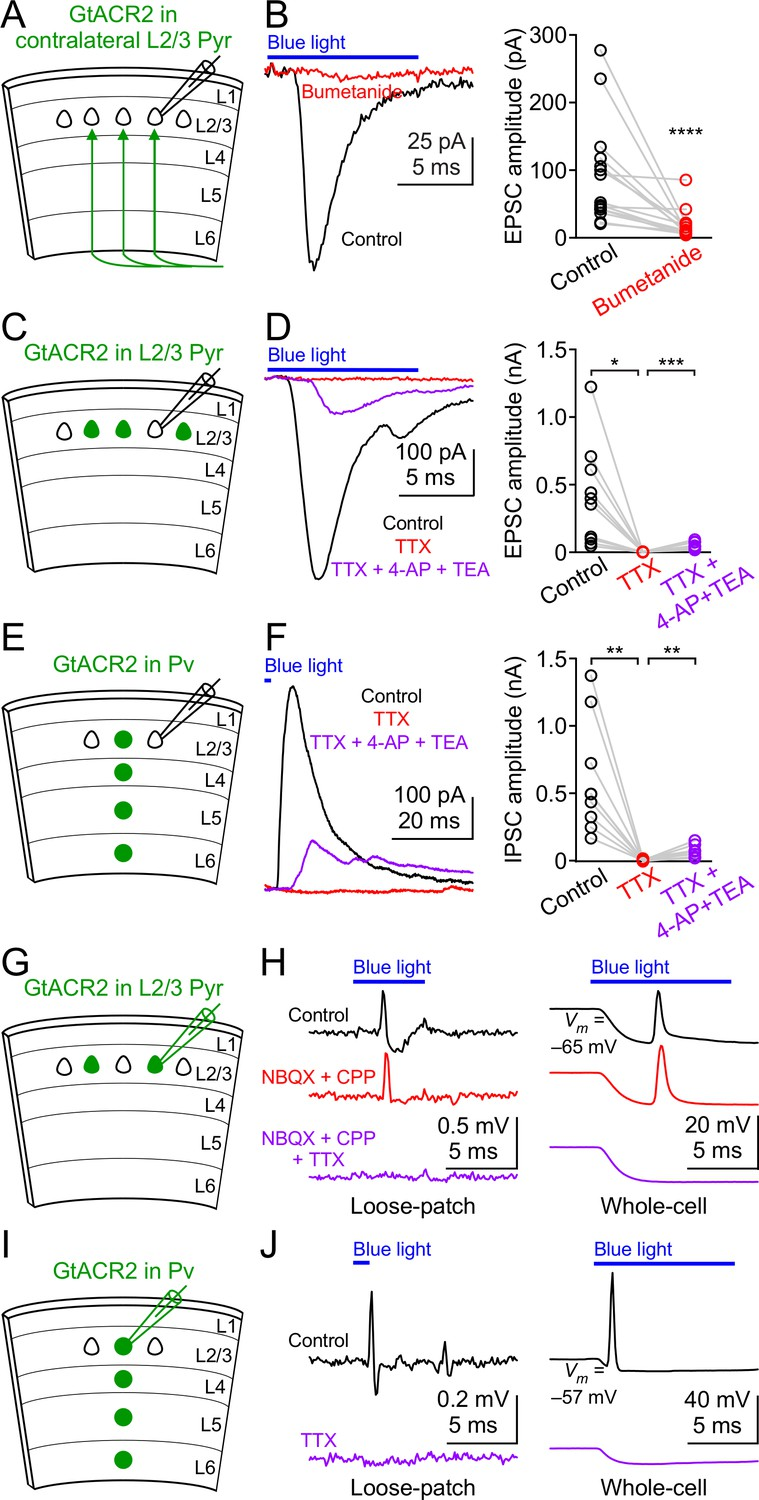 Targeting Light Gated Chloride Channels To Neuronal Somatodendritic 1796 Cj7 Fuse Box Diagram Gtacr2 Activation Directly Depolarizes The Distal Axon And Presynaptic Terminals Can Result In Antidromic Spikes