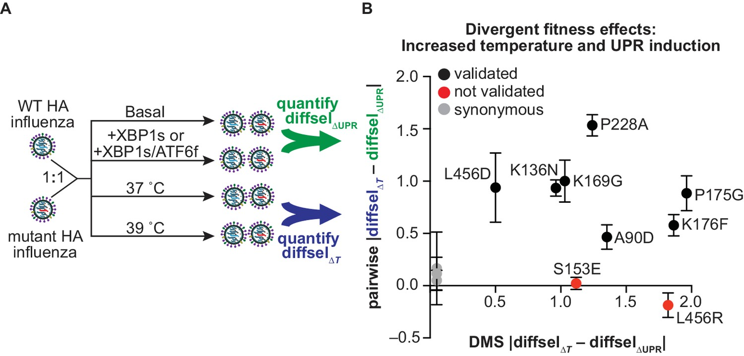 Enhanced ER proteostasis and temperature differentially impact the