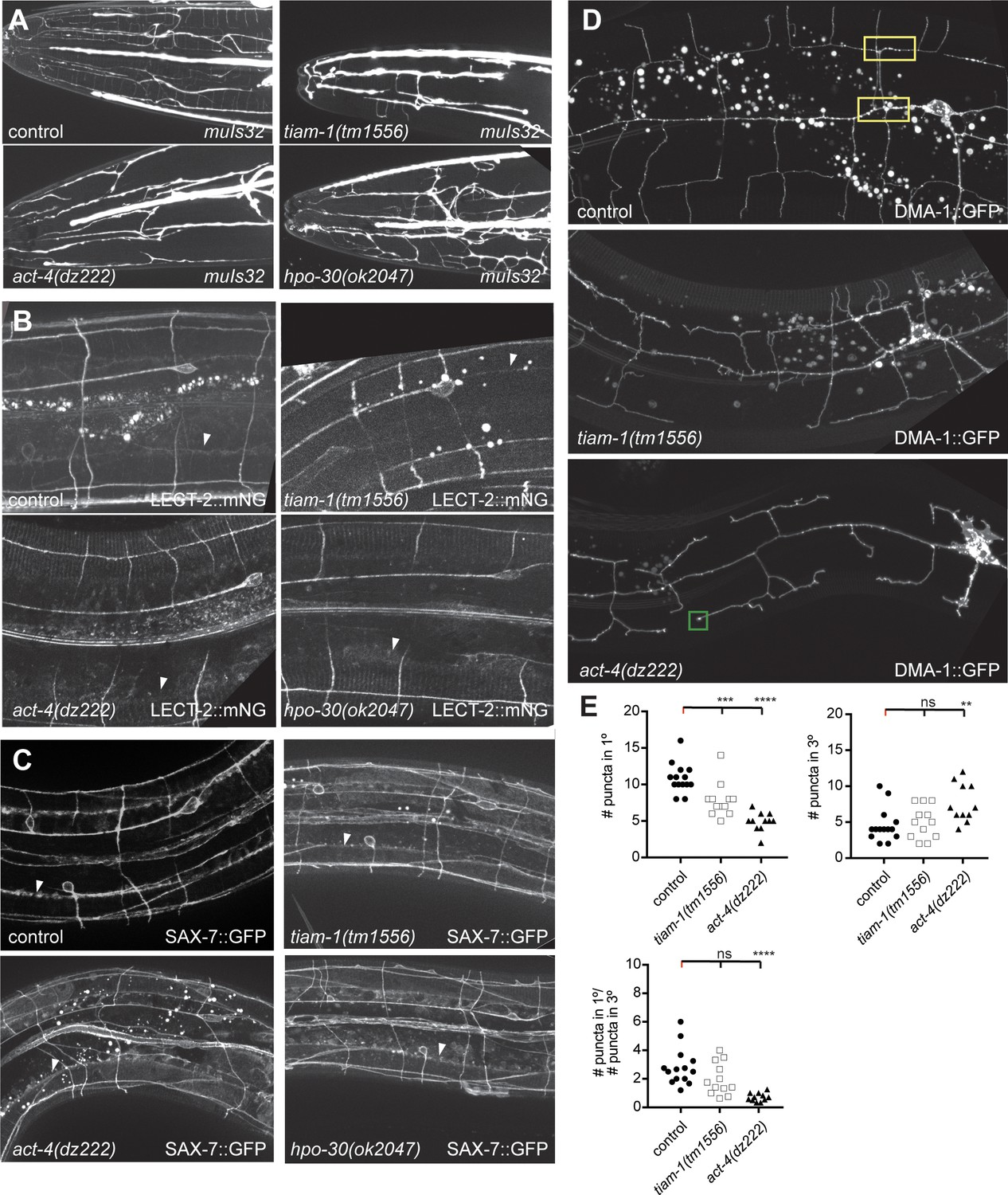 d6d210d991b TIAM-1 GEF can shape somatosensory dendrites independently of its ...