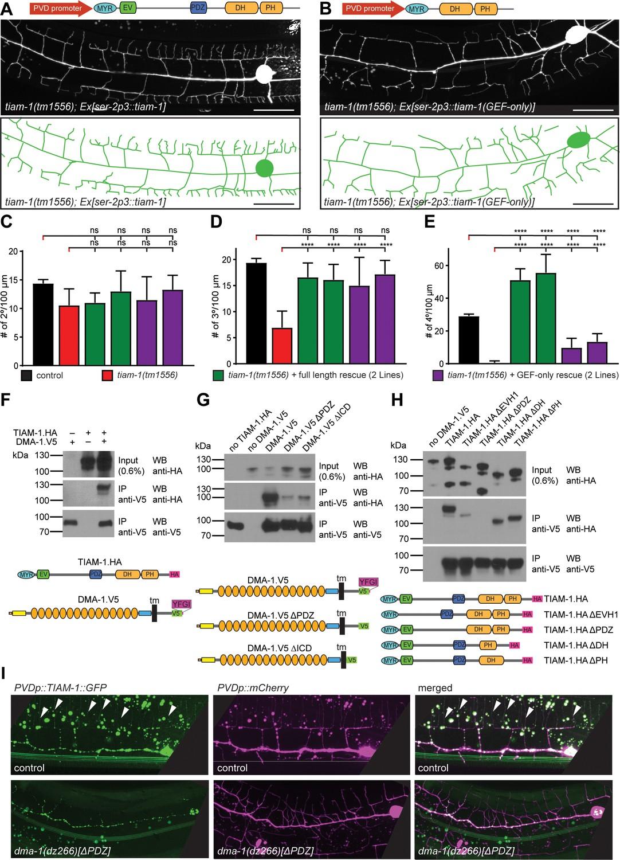 TIAM-1/GEF can shape somatosensory dendrites independently of its