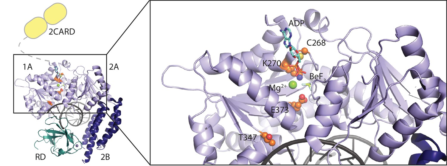 Unified mechanisms for self-RNA recognition by RIG-I