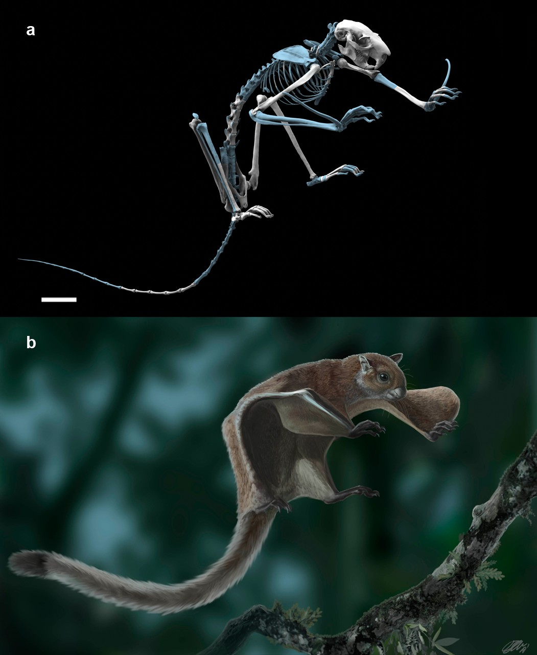 Oldest skeleton of a fossil flying squirrel casts new light