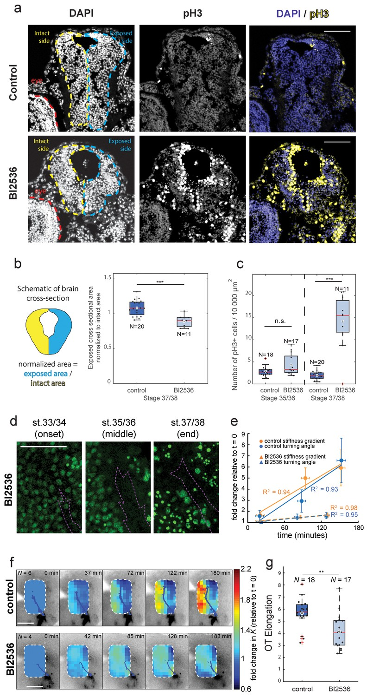 Rapid changes in tissue mechanics regulate cell behaviour in