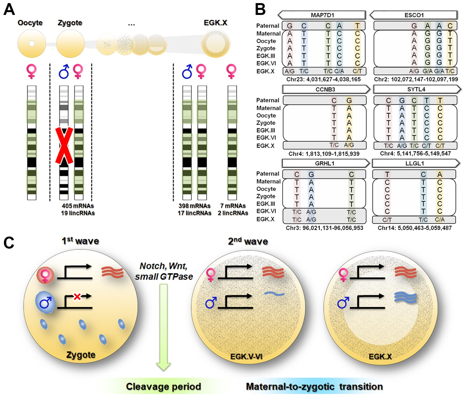 Zygotic gene activation in the chicken occurs in two waves