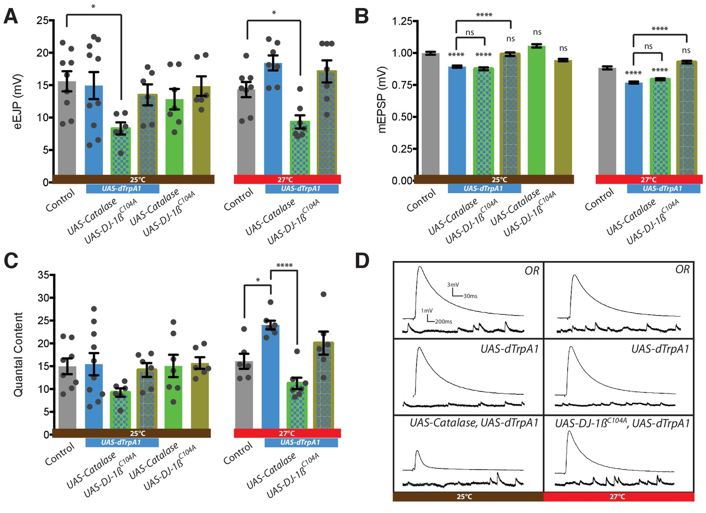 Reactive oxygen species regulate activity-dependent neuronal