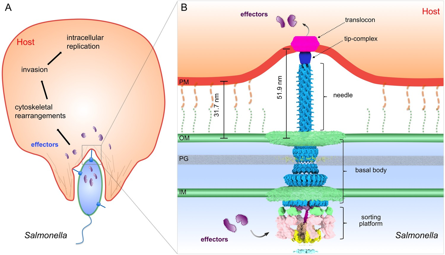 Visualization Of The Type Iii Secretion Mediated