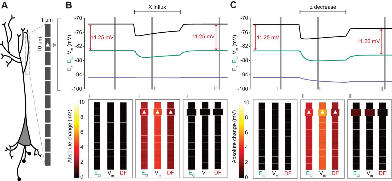 Biophysical models reveal the relative importance of transporter