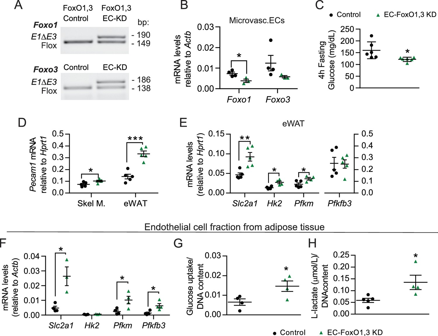 Endothelial-specific FoxO1 depletion prevents obesity