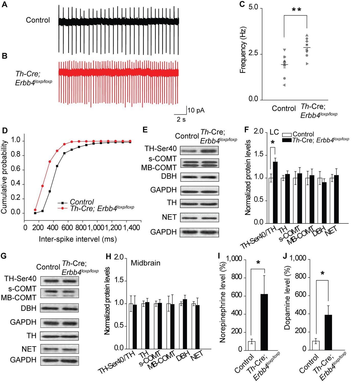 ErbB4 deletion in noradrenergic neurons in the locus coeruleus