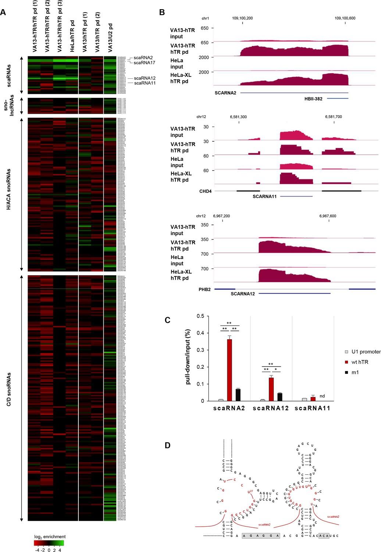 The RNA interactome of human telomerase RNA reveals a coding