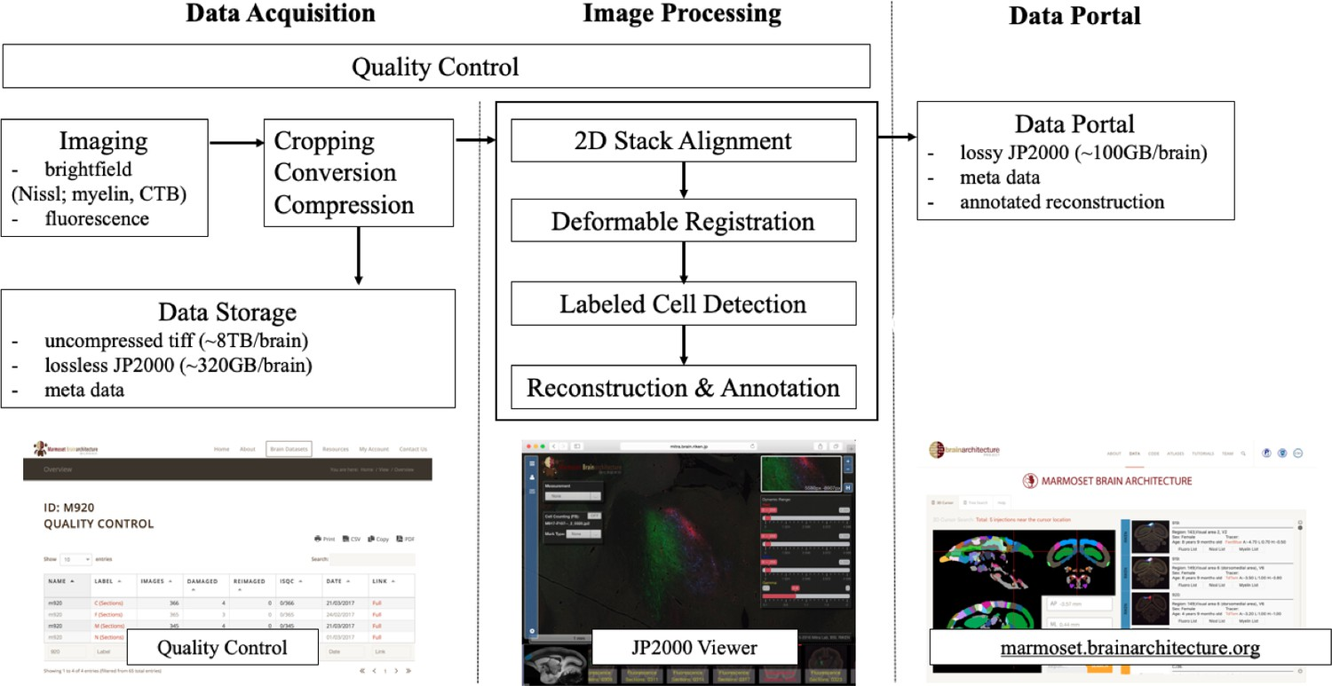 A high-throughput neurohistological pipeline for brain-wide
