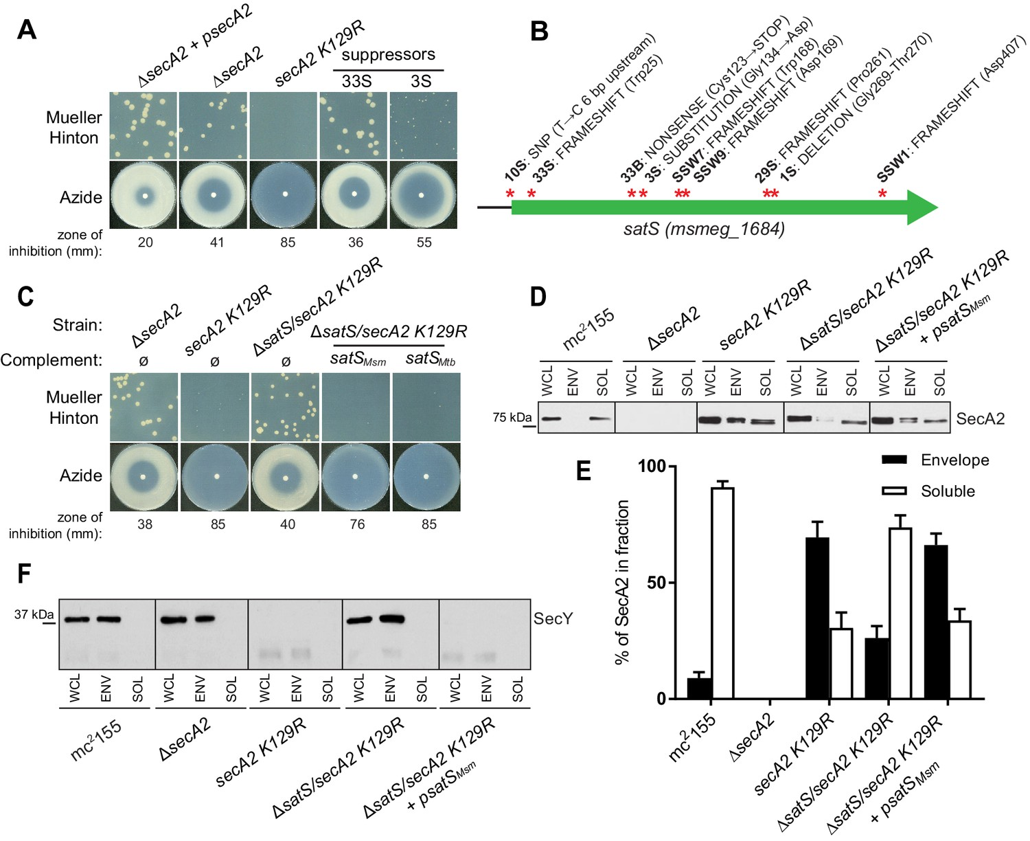 Mycobacterium tuberculosis SatS is a chaperone for the SecA2 protein