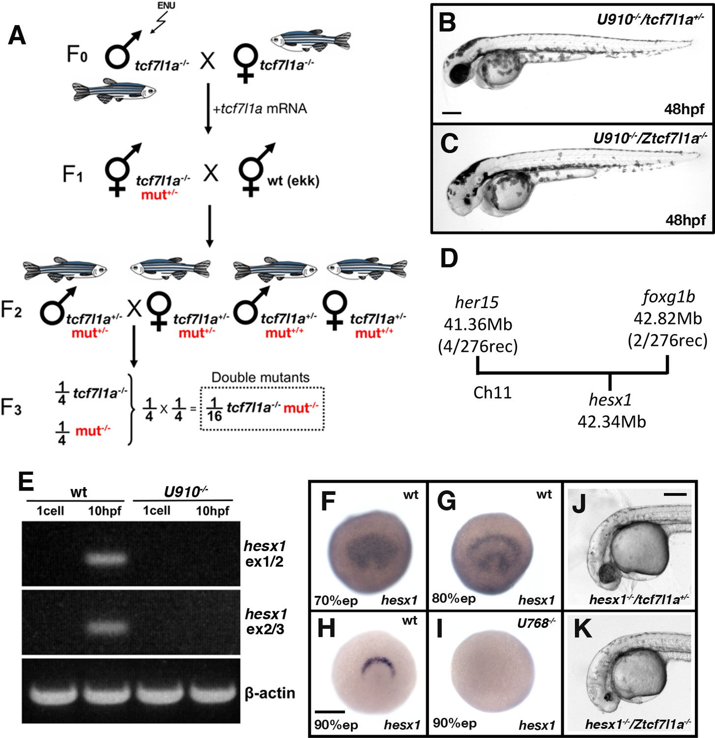 Compensatory growth renders Tcf7l1a dispensable for eye formation