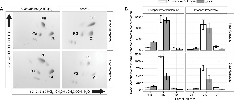 The Acinetobacter baumannii Mla system and
