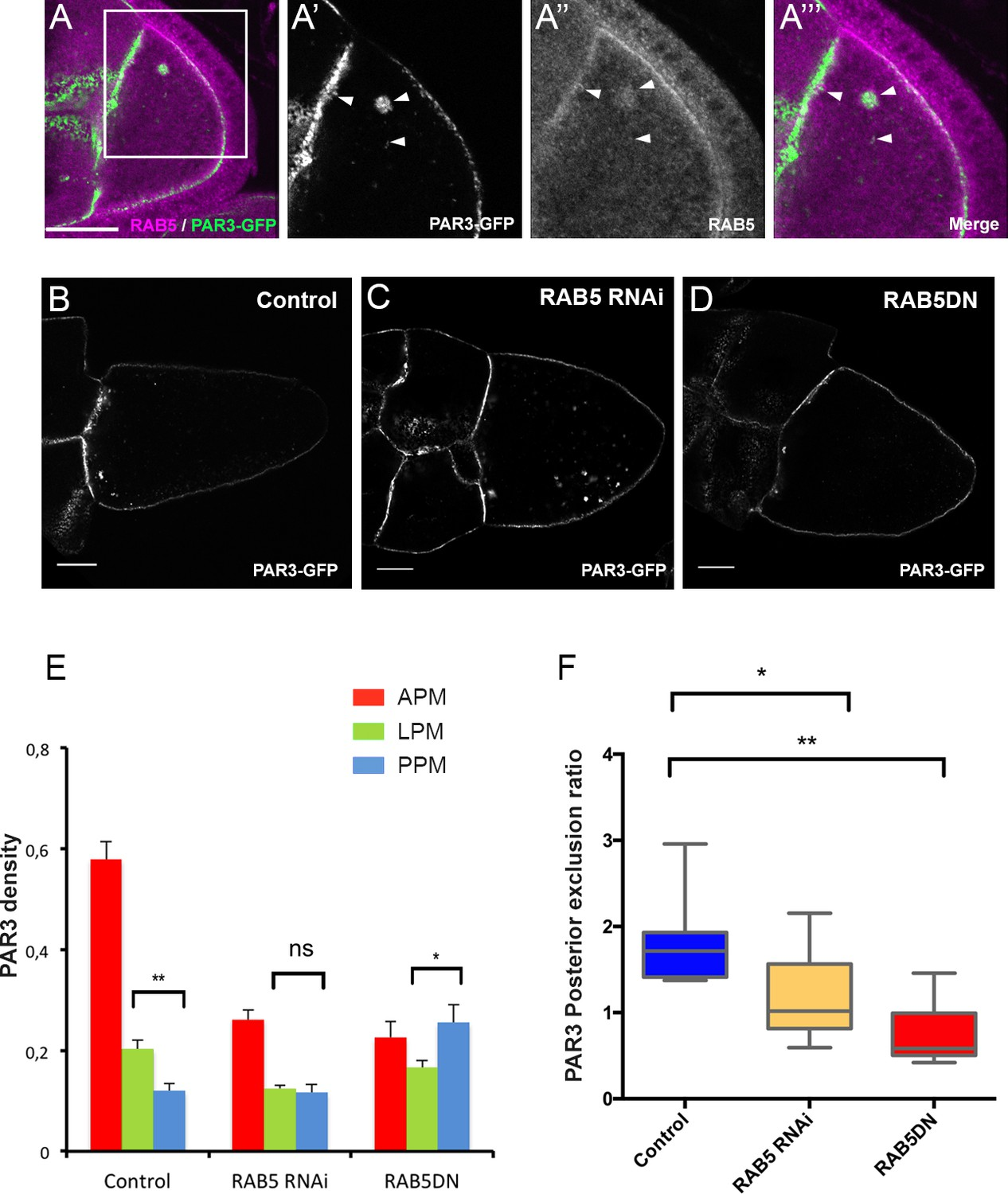 Dynein-mediated transport and membrane trafficking control