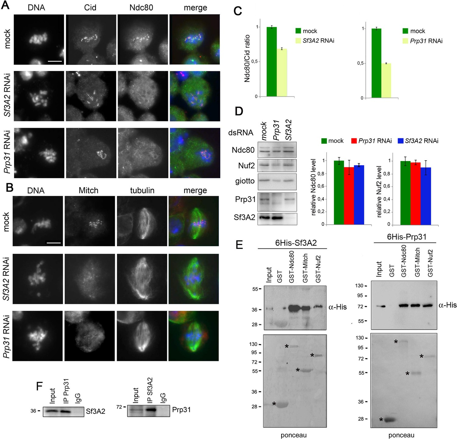 Splicing factors Sf3A2 and Prp31 have direct roles in mitotic