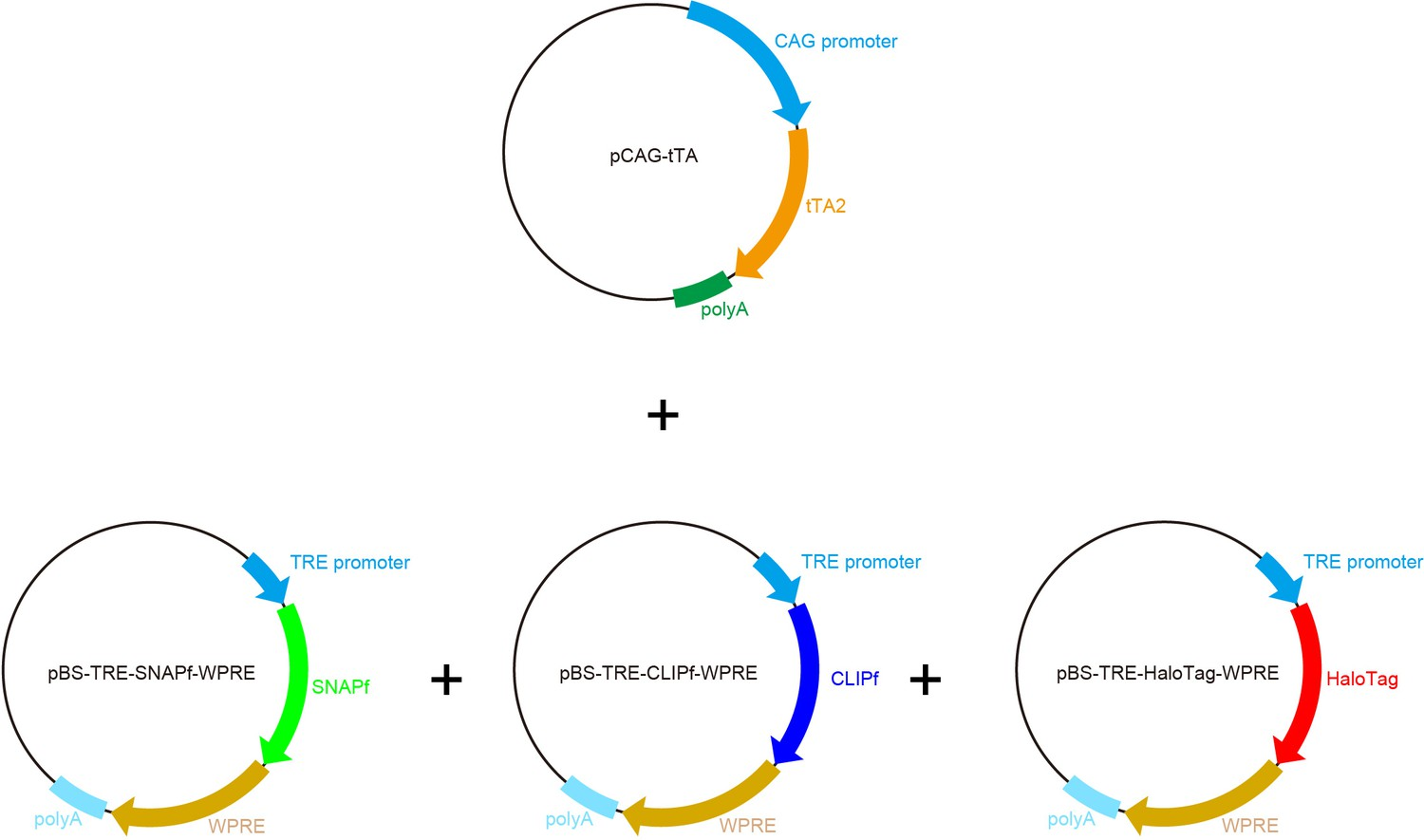 Bright Multicolor Labeling Of Neuronal Circuits With Fluorescent Using A Simple Rc Circuit Fill Up The Column Labeledcalculation Plasmid Maps For Chemical Tag Tetbow