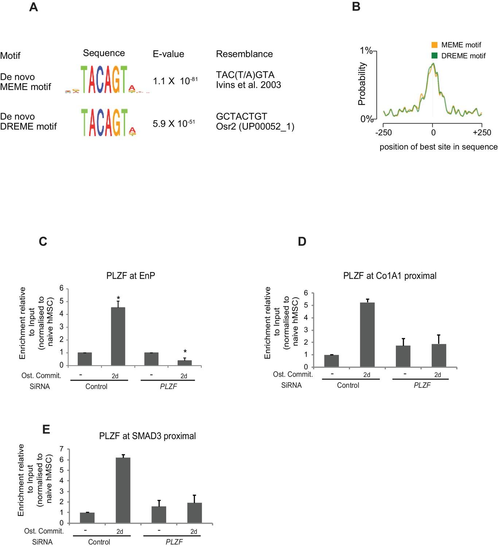PLZF targets developmental enhancers for activation during
