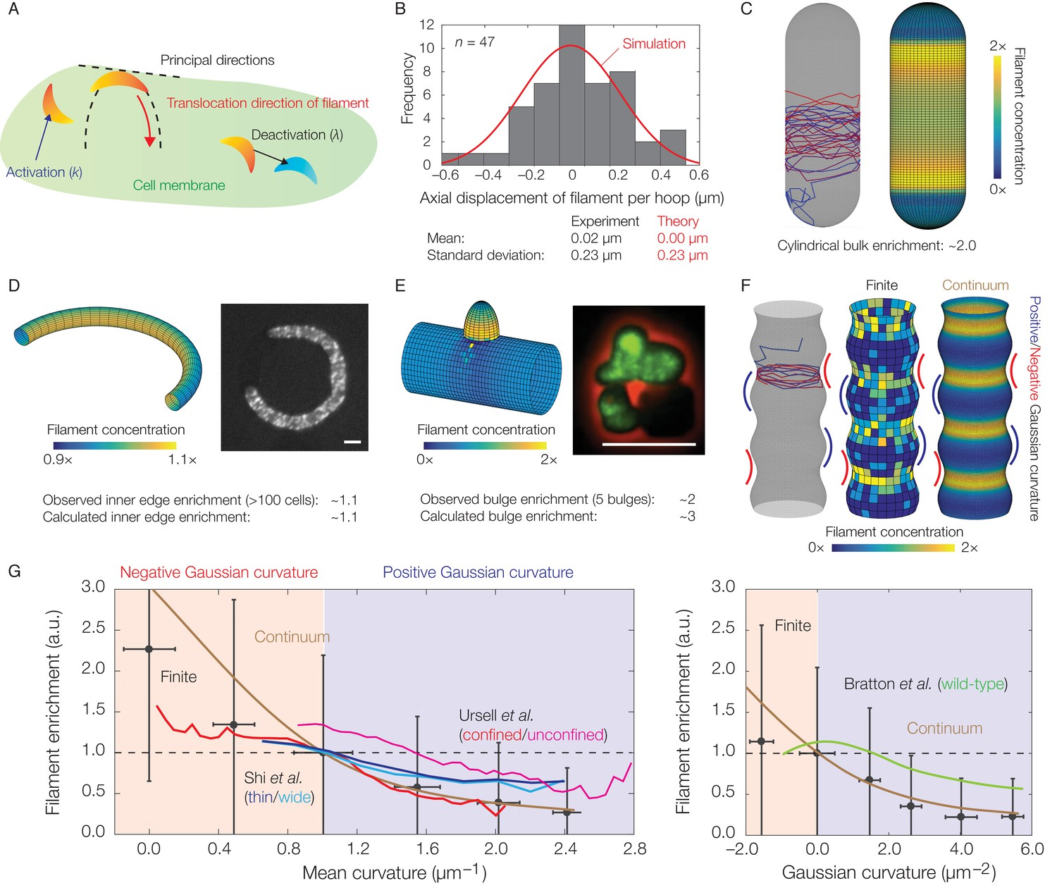 Mechanics and dynamics of translocating MreB filaments on curved