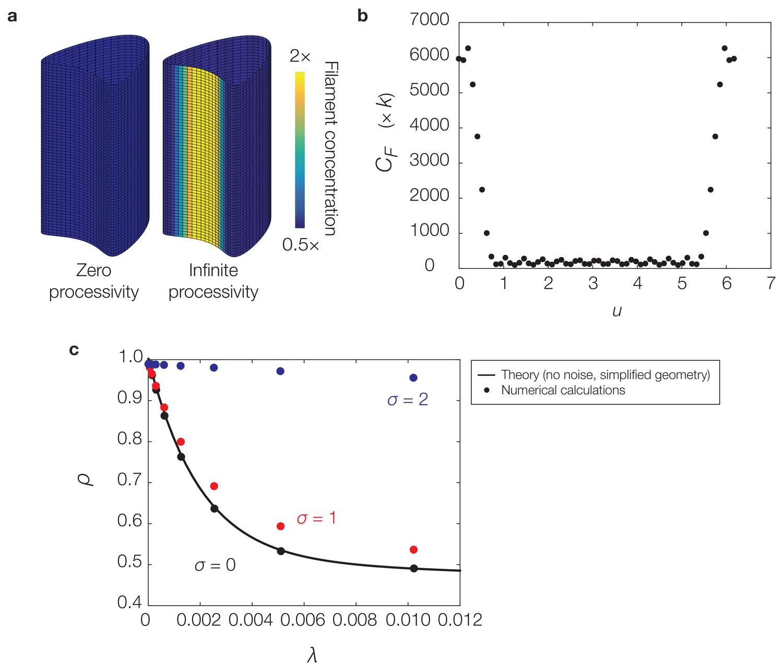 Mechanics and dynamics of translocating MreB filaments on