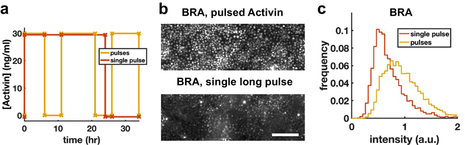 Rapid changes in morphogen concentration control self-organized