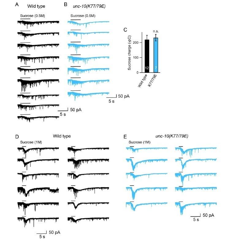 Heterodimerization of UNC-13/RIM regulates synaptic vesicle
