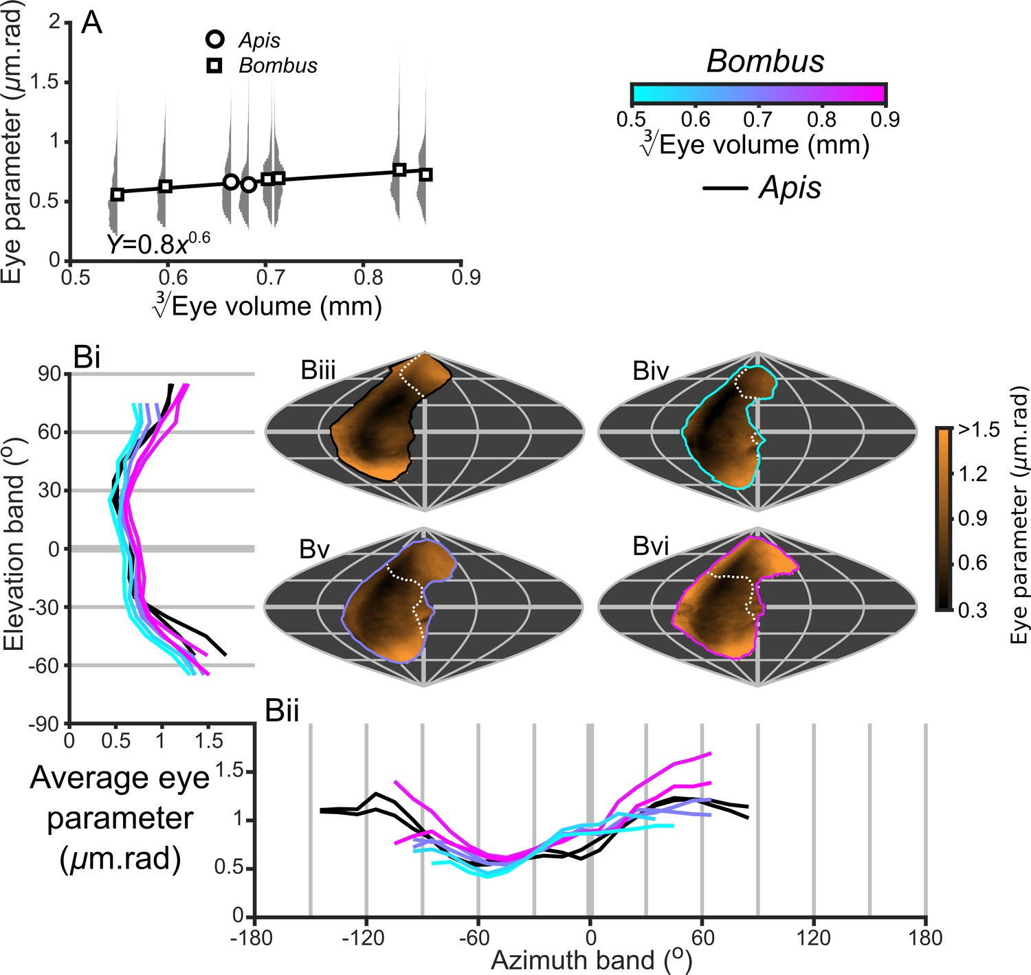 description of the local eye parameter of compound eyes